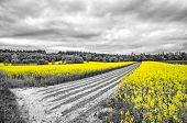 stock photo of rape-field  - Shining yellow oilseed rape fields in a black and white landscape - JPG