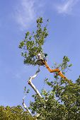 foto of tree trim  - A worker with a chainsaw trimming the tree branches on the high Hydraulic mobile platform - JPG