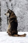 image of sled dog  - Dog on the snow in forest. Watchdog or Sled Dog