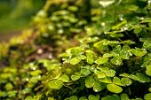 foto of irish moss  - Green clover leafs background in the forest - JPG