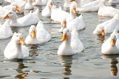 pic of duck pond  - Flock of white ducks swimming in the pond - JPG