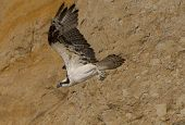 stock photo of osprey  - An Osprey glides along a cliff face at Torrey Pines State Beach - JPG