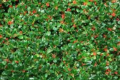picture of aquifolium  - holly bush hedge with berries ilex aquifolium natural christmas background - JPG