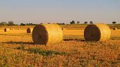 picture of alfalfa  - Alfalfa bales shine during summertime in the setting Oklahoma sun.