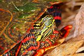 pic of winnebago  - Close up of Painted Turtle  - JPG