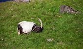 picture of iceland farm  - Icelandic sheep play in a meadow by the water - JPG