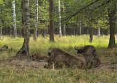image of aurochs  - Two cows of European bison (Bison bonasus look after calf Prioksky-terraced reservation Russia ** Note: Visible grain at 100%, best at smaller sizes - JPG