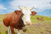 picture of cow head  - cows in the mountains with horns and cowbells - JPG