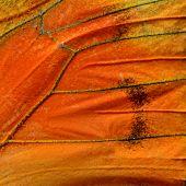 image of albatross  - Close up of Orange Albatross Butterfly - JPG
