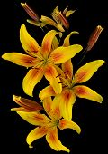 stock photo of stargazer-lilies  - Yellow lilies in the garden close - JPG