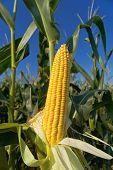 stock photo of corn stalk  - Corn Maize Ear with ripe yellow seed on stalk of a fully grown corn plant in cultivated agricultural field - JPG