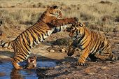 pic of tigress  - Pair of young tigers play - JPG