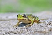 stock photo of baby frog  - Edible frog ( Rana esculenta) also known as the common water frog or green frog