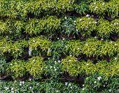 foto of gardenia  - Ornamental flowerpot of Gardenia plant as vertical wall - JPG