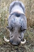 image of tusks  - Portrait of a warthog - JPG
