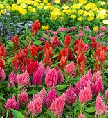 pic of celosia  - Colorful plumed cockscomb flower or Celosia argentea blossom  - JPG