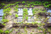 foto of ivy vine  - Window with the creeping ivy tree at Kurashiki Japan - JPG
