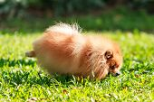 stock photo of peeing  - Pomeranian dog peeing on green grass in the garden - JPG