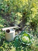 picture of water cabbage  - shovel watering can and cabbage in garden in summer day - JPG