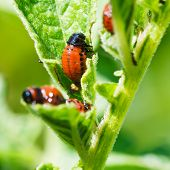 stock photo of potato bug  - potato bug larva eating potatoes leaves in garden - JPG