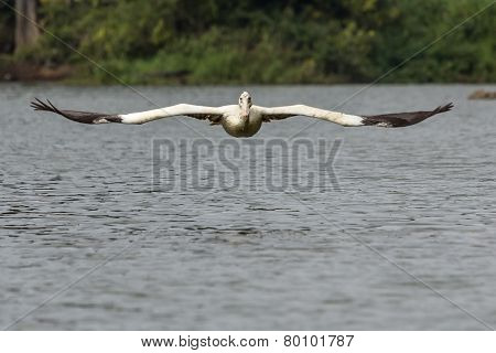 Low Flying Pelican (Incoming)