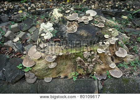 Wild Mushroom Grown On Stump