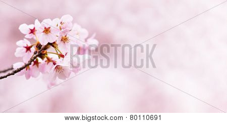 Spring cherry blossoms. horizontally wide title header dimension image.