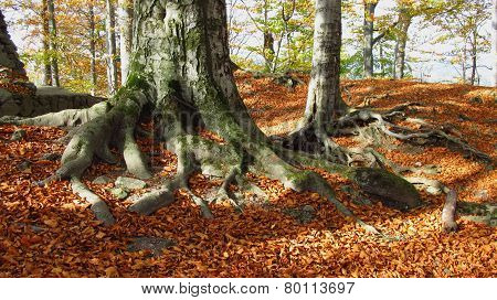 beech forest on sunny autumn day