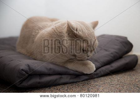 Britisch shorthair on a blanket