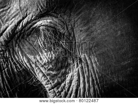 An asian elephant eye closeup
