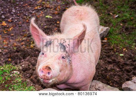 Pink pig on irish farm