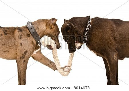 Two pitbulls  gnaw rope