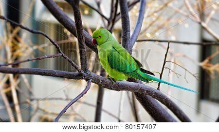 Rose-ringed Parakeet Sitting On Tree