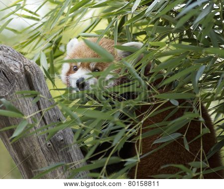 red panda hiding