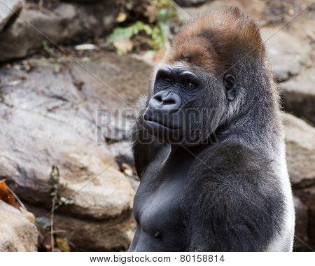 portrait of a silver back gorilla