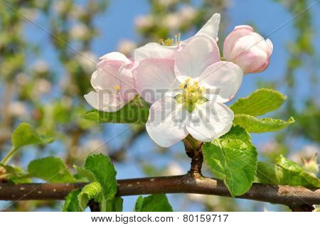 Detail blooming apple tree branch. Spring background.
