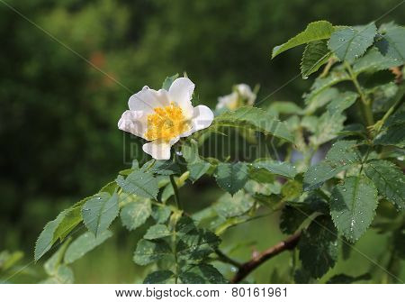 Beautiful Flower Of A White Dog Roses