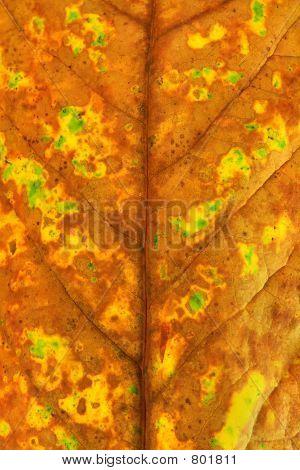 Autumn Leaf 02