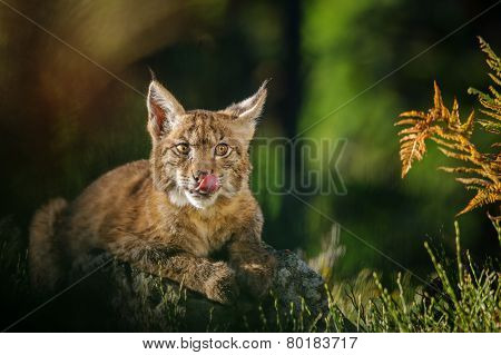 Eurasian Lynx In Forest