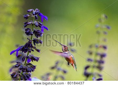 female Rufous Hummingbird feeding on wild salvia.