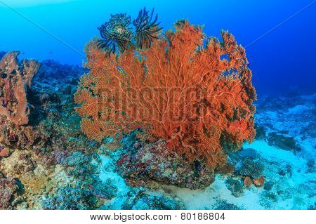 Large seafan on a reef
