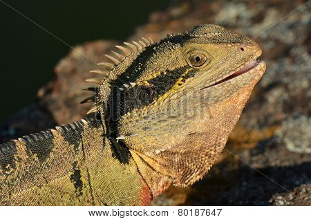 Australian Eastern Water Dragon