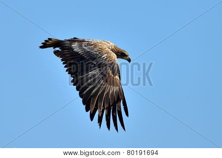 The white-tailed eagle flying (Haliaeetus albicilla)