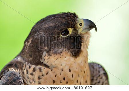 peregrine falcon portrait (falco pregrinus)