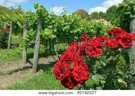 Red Rose Flowers In Vineyard