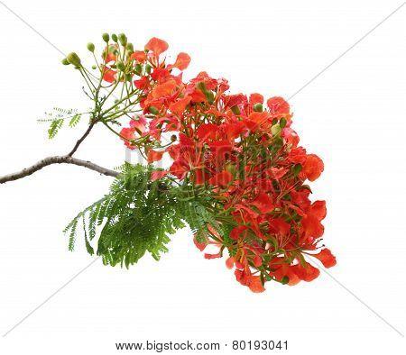 Pheonix Flower