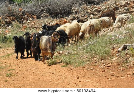 A Herd Of Goats. Animals Spent With Pastures