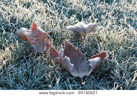 Frosted Leaves And Grasses