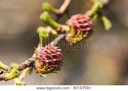 Blossoming Larch Cones