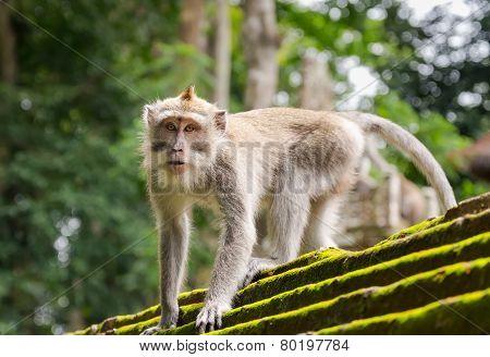 Monkey In The Animal Forest, Ubud, Bali Island.